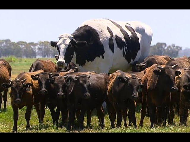 Una Vaca Gigante / Los Videos mas Raros del Mundo 249